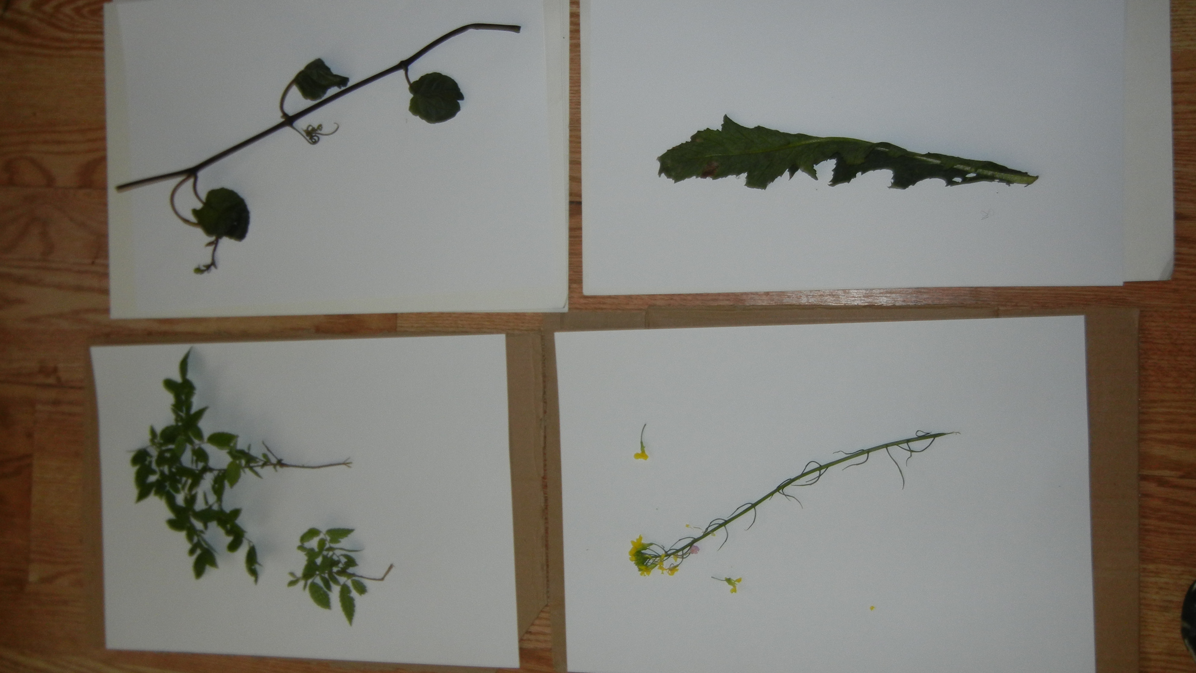 cream soda general this plant right down load dandelion northern europe think link might help seem doesnt identifier most looks like some deck identification botanists kind birch plants know anything expert from