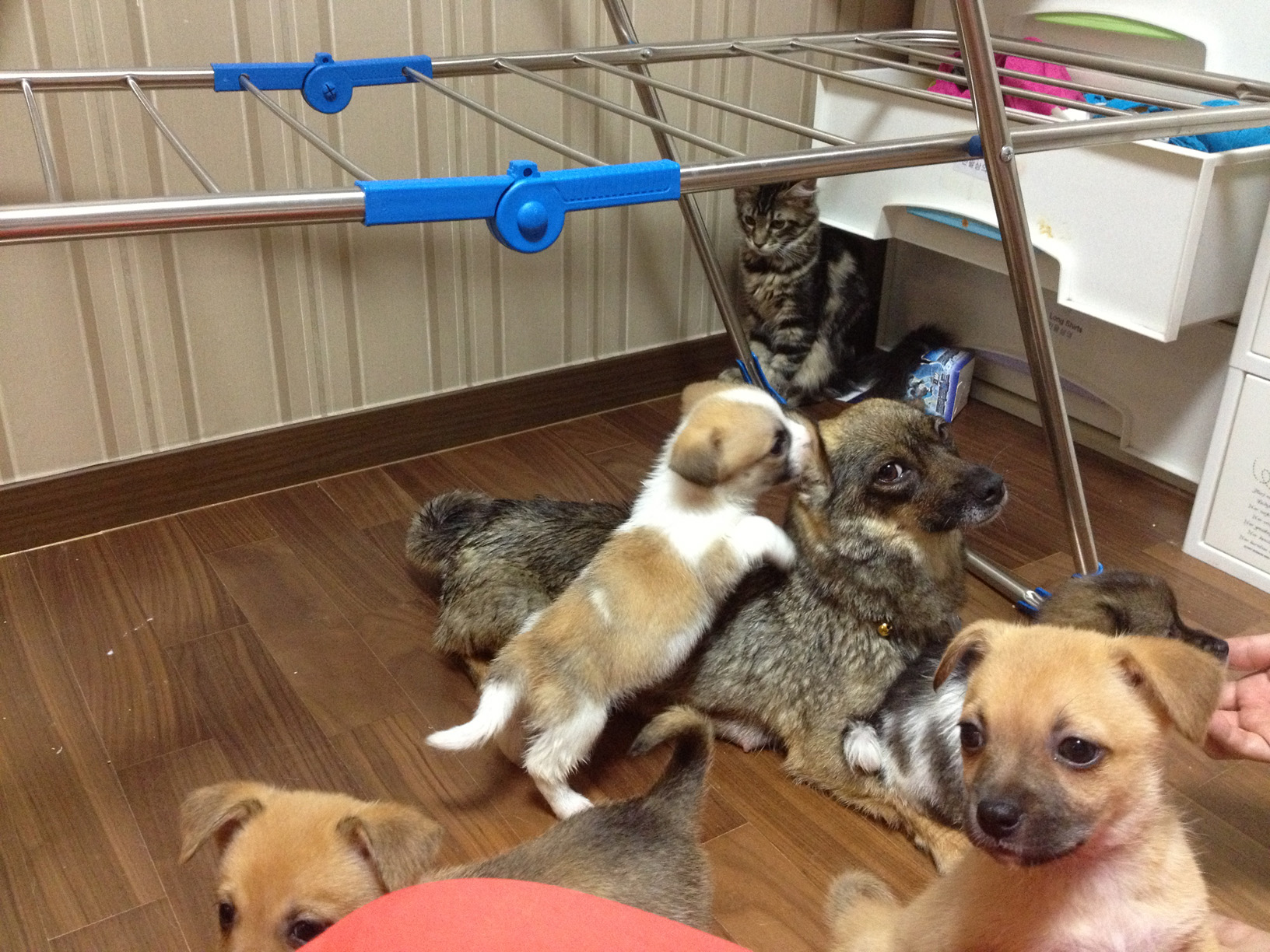 maachaq general today corgi mutant loves live corner pets pictures your super post busy streets rained