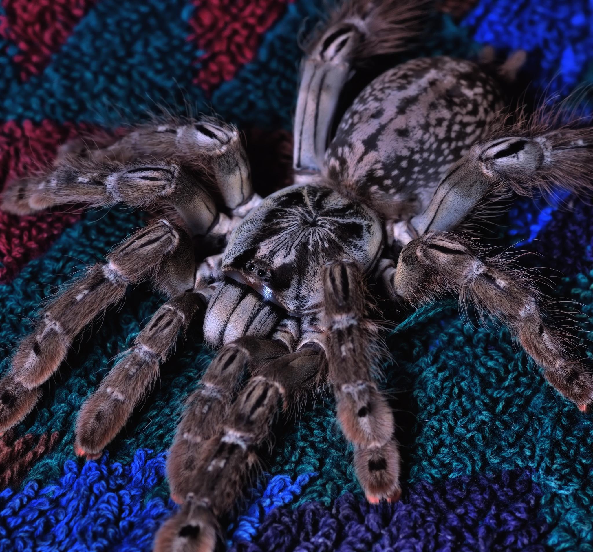 kerberoz general blue purple pill between thread image xxxix decide cant random spiders